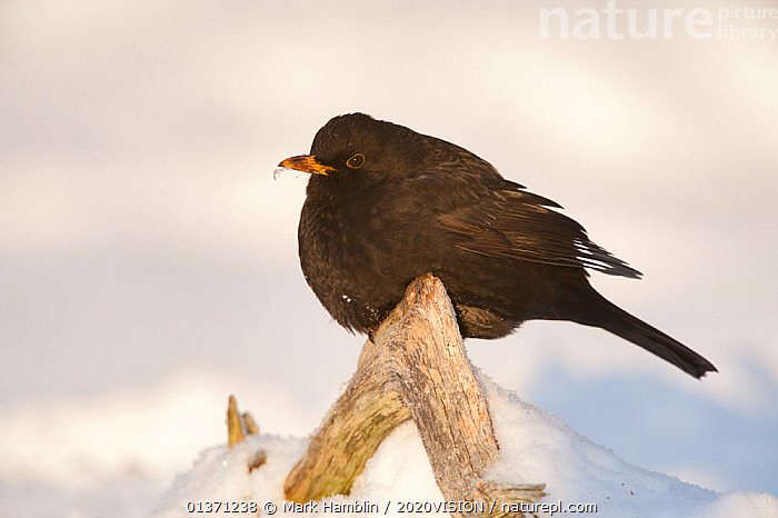 Male Blackbird (Turdus merula) perched in winter on dead branch, Scotland, UK, December 2010  ,  2020VISION,GARDENS,MALES,SNOW,SONGBIRDS,THRUSHES,UK,URBAN,VERTEBRATES,WINTER,BIRDS,COLD,EUROPE,ONE,TURDIDAE,United Kingdom  ,  Mark Hamblin / 2020VISION