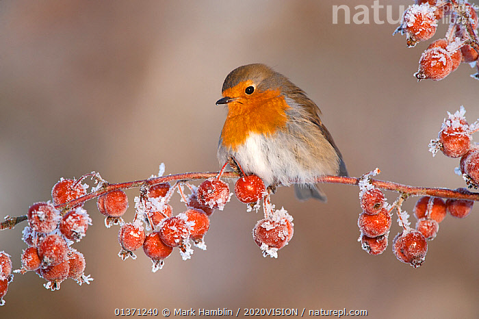 Adult Robin (Erithacus rubecula) in winter, perched on twig with frozen crab apples, Scotland, UK, December 2010  ,  2020VISION,FROST,GARDENS,SNOW,SONGBIRDS,UK,URBAN,VERTEBRATES,WINTER,BIRDS,COLD,EUROPE,FROZEN,FRUIT,MUSCICAPIDAE,ONE,Weather,Plants,United Kingdom  ,  Mark Hamblin / 2020VISION