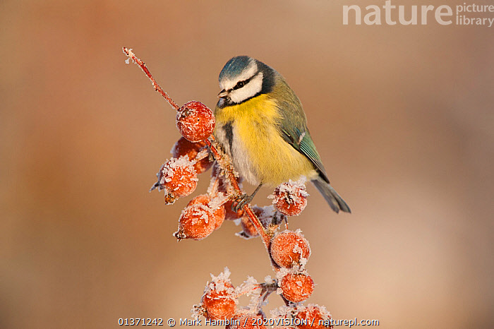 Adult Blue tit (Parus caeruleus) in winter, perched on twig with frozen crab apples, Scotland, UK, December 2010  ,  BIRDS,COLD,EUROPE,FROZEN,FRUIT,ONE,TITS,2020VISION,FROST,GARDENS,PARIDAE,SNOW,SONGBIRDS,UK,URBAN,VERTEBRATES,WINTER,Weather,Plants,United Kingdom  ,  Mark Hamblin / 2020VISION