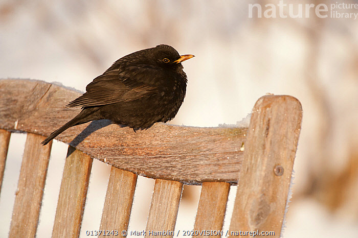 Male Blackbird (Turdus merula) perched on garden seat in winter, with feathers ruffled to insulate against cold, Scotland, UK, December 2010  ,  BIRDS,COLD,EUROPE,ONE,TURDIDAE,2020VISION,GARDENS,MALES,SNOW,SONGBIRDS,THRUSHES,UK,URBAN,VERTEBRATES,WINTER,United Kingdom,2020cc  ,  Mark Hamblin / 2020VISION