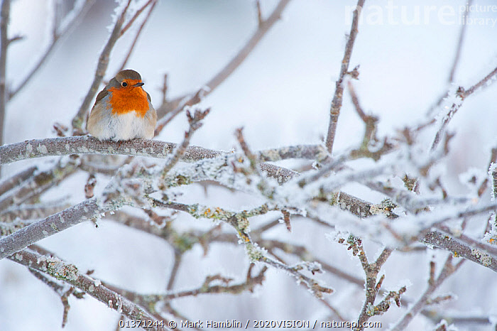Robin (Erithacus rubecula) adult perched in frosty tree in winter, Scotland, UK  ,  BIRDS,COLD,EUROPE,MUSCICAPIDAE,ONE,2020VISION,FROST,GARDENS,SNOW,SONGBIRDS,UK,URBAN,VERTEBRATES,WINTER,Weather,United Kingdom  ,  Mark Hamblin / 2020VISION