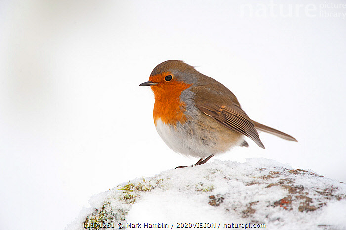 Adult Robin (Erithacus rubecula) perched in winter, Scotland, UK, December 2010  ,  COLD,EUROPE,ONE,2020VISION,GARDENS,SNOW,UK,URBAN,WHITE,WINTER,United Kingdom  ,  Mark Hamblin / 2020VISION