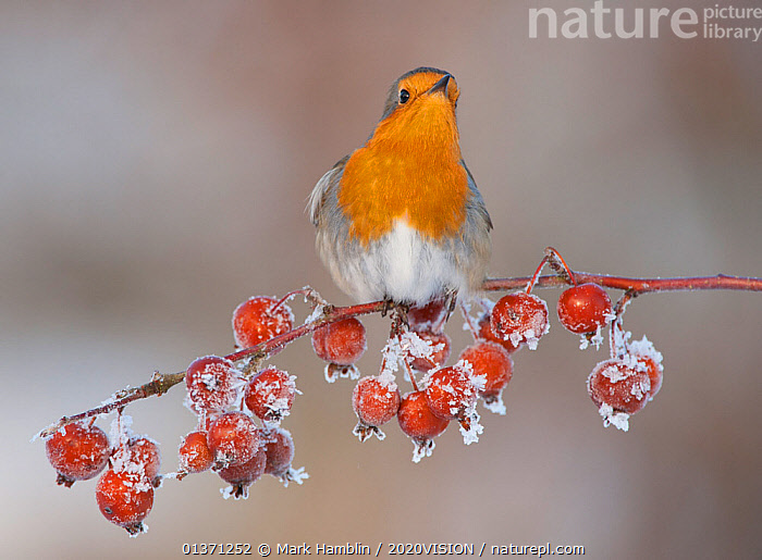 Adult Robin (Erithacus rubecula) in winter, perched on twig with frozen crab apples, with neck stretched out to look, Scotland, UK, December 2010  ,  BIRDS,COLD,EUROPE,FROZEN,FRUIT,LOOKING,MUSCICAPIDAE,ONE,2020VISION,FROST,GARDENS,SNOW,SONGBIRDS,STRETCHING,UK,URBAN,VERTEBRATES,WINTER,Weather,Plants,United Kingdom  ,  Mark Hamblin / 2020VISION