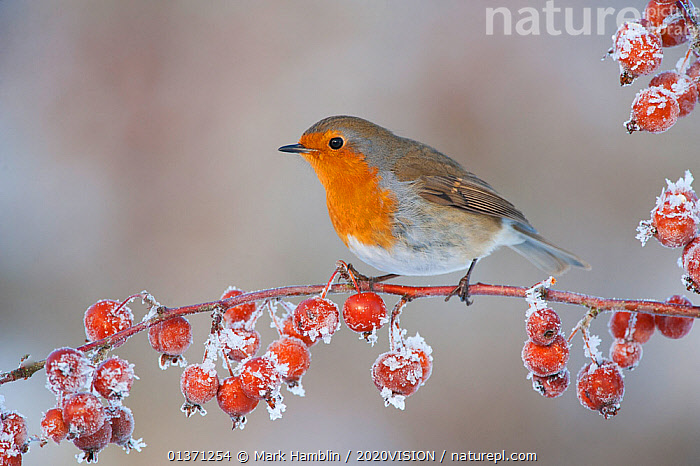 Adult Robin (Erithacus rubecula) in winter, perched on twig with frozen crab apples, Scotland, UK, December 2010  ,  BIRDS,COLD,EUROPE,FROZEN,FRUIT,MUSCICAPIDAE,ONE,2020VISION,FROST,GARDENS,SNOW,SONGBIRDS,UK,URBAN,VERTEBRATES,WINTER,Weather,Plants,United Kingdom  ,  Mark Hamblin / 2020VISION
