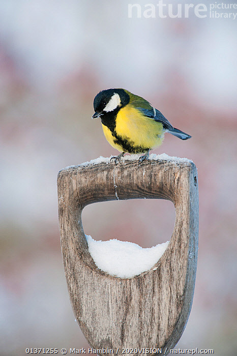 Adult Great tit (Parus major) perched on spade handle in the snow in winter, Scotland, UK, December 2010  ,  2020VISION,GARDENS,PARIDAE,SNOW,SONGBIRDS,UK,URBAN,VERTEBRATES,WINTER,BIRDS,COLD,EUROPE,ONE,TITS,VERTICAL,United Kingdom  ,  Mark Hamblin / 2020VISION
