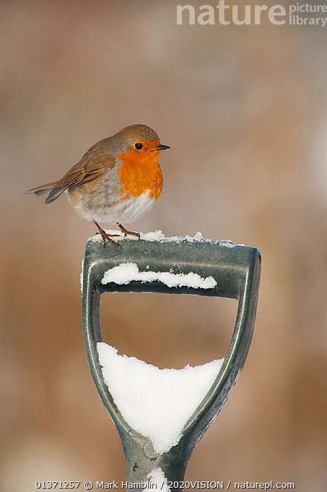 Adult Robin (Erithacus rubecula) perched on spade handle in the snow in winter, Scotland, UK, December 2010  ,  2020VISION,GARDENS,SNOW,SONGBIRDS,UK,URBAN,VERTEBRATES,WINTER,BIRDS,COLD,EUROPE,MUSCICAPIDAE,ONE,VERTICAL,United Kingdom  ,  Mark Hamblin / 2020VISION