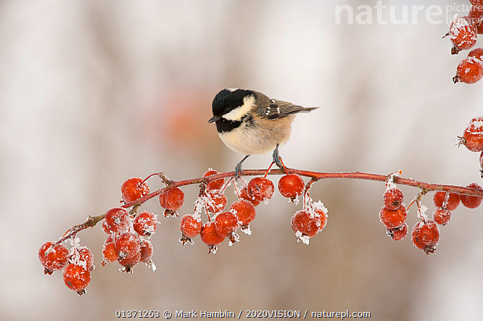 Coal tit (Periparus ater) adult in winter, perched on twig with frozen crab apples, Scotland, UK, December 2010  ,  2020VISION, BIRDS, COLD, EUROPE, FROST, Frozen, FRUIT, GARDENS, one, Paridae, SNOW, songbirds, TITS, UK, URBAN, VERTEBRATES, WINTER,Weather,Plants,United Kingdom  ,  Mark Hamblin / 2020VISION
