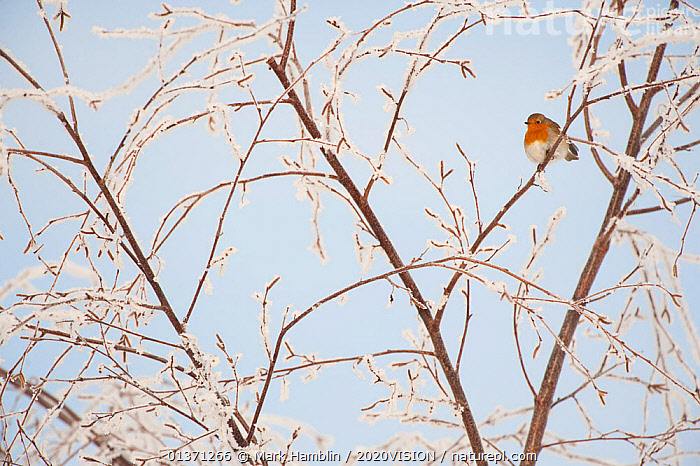 Adult Robin (Erithacus rubecula) perched in frosty tree in winter, Scotland, UK, December 2010  ,  2020VISION,BIRDS,COLD,EUROPE,FROST,GARDENS,MUSCICAPIDAE,ONE,SNOW,SONGBIRDS,TREES,UK,URBAN,VERTEBRATES,WINTER,Weather,PLANTS,United Kingdom  ,  Mark Hamblin / 2020VISION