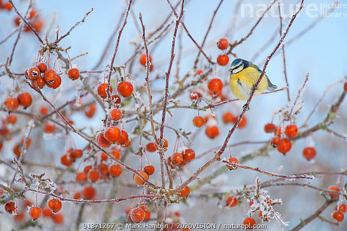 Blue tit (Parus caeruleus) adult in winter, perched in tree with frozen crab apples, Scotland, UK, December 2010  ,  2020VISION,BIRDS,COLD,EUROPE,FROST,FROZEN,FRUIT,GARDENS,ONE,PARIDAE,SNOW,SONGBIRDS,TITS,TREES,UK,URBAN,VERTEBRATES,WINTER,Weather,Plants,United Kingdom  ,  Mark Hamblin / 2020VISION
