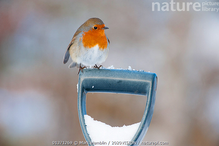 Adult Robin (Erithacus rubecula) perched on spade handle in the snow in winter, Scotland, UK, December 2010  ,  2020VISION,BIRDS,COLD,EUROPE,GARDENS,MUSCICAPIDAE,ONE,SNOW,SONGBIRDS,UK,URBAN,VERTEBRATES,WINTER,United Kingdom  ,  Mark Hamblin / 2020VISION