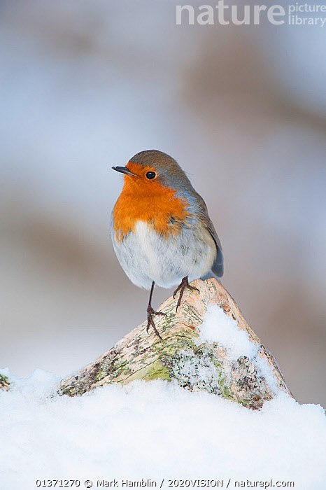Adult Robin (Erithacus rubecula) perched in winter on dead branch, Scotland, UK, December 2010  ,  2020VISION,BIRDS,COLD,EUROPE,GARDENS,MUSCICAPIDAE,ONE,SNOW,SONGBIRDS,UK,URBAN,VERTEBRATES,VERTICAL,WINTER,United Kingdom  ,  Mark Hamblin / 2020VISION