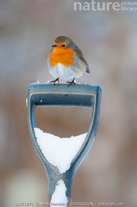 Adult Robin (Erithacus rubecula) perched on spade handle in the snow in winter, Scotland, UK, December 2010  ,  2020VISION,BIRDS,COLD,EUROPE,GARDENS,MUSCICAPIDAE,ONE,SNOW,SONGBIRDS,UK,URBAN,VERTEBRATES,VERTICAL,WINTER,United Kingdom  ,  Mark Hamblin / 2020VISION