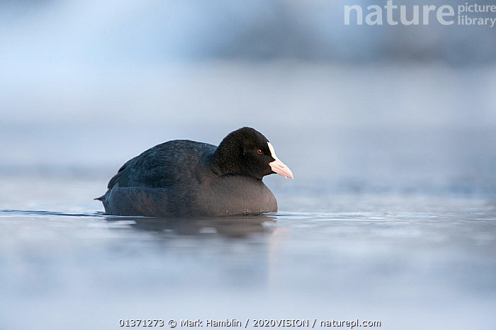 Adult Coot (Fulica atra) in water in winter, Scotland, UK, December 2010  ,  2020VISION,BIRDS,COLD,COOTS,EUROPE,FROZEN,ICE,ONE,UK,VERTEBRATES,WATERFOWL,WETLANDS,WINTER,United Kingdom  ,  Mark Hamblin / 2020VISION