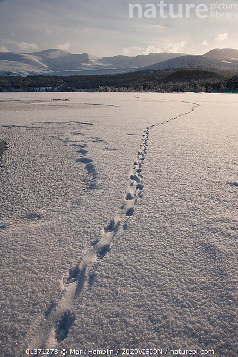 European river otter (Lutra lutra) prints in snow, leading across Loch Morlich, Cairngorms NP, Scotland, UK, January 2011  ,  2020VISION,CAIRNGORMS,EUROPE,FOOTPRINTS,FROZEN,HIGHLANDS,ICE,LAKES,LANDSCAPES,MOUNTAINS,NP,RESERVE,SNOW,TRACKS,UK,UPLANDS,WETLANDS,WINTER,National Park,United Kingdom  ,  Mark Hamblin / 2020VISION