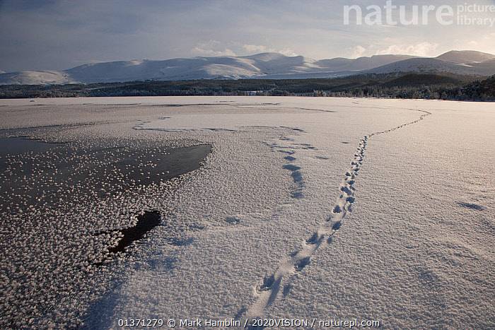 European river otter (Lutra lutra) prints in snow, leading across Loch Morlich, Cairngorms NP, Scotland, January 2010  ,  2020VISION,CAIRNGORMS,EUROPE,FOOTPRINTS,HIGHLANDS,LAKES,LANDSCAPES,MOUNTAINS,NP,RESERVE,SNOW,TRACKS,UK,UPLANDS,WETLANDS,WINTER,National Park,United Kingdom  ,  Mark Hamblin / 2020VISION
