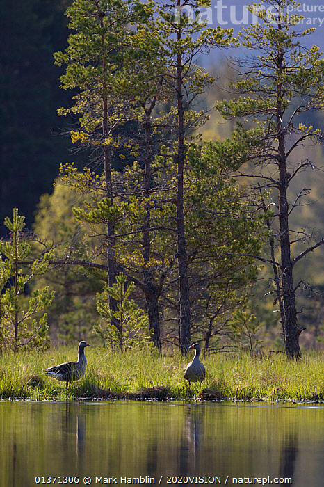 Greylag goose (Anser anser) pair on edge of loch, near nesting site, Scotland, UK, May 2010  ,  2020VISION,ANATIDAE,BIRDS,CONIFEROUS,EUROPE,FORESTS,GEESE,LAKES,MALE FEMALE PAIR,TREES,TWO,UK,VERTEBRATES,VERTICAL,WATERFOWL,WETLANDS,WOODLANDS,PLANTS,United Kingdom,2020cc  ,  Mark Hamblin / 2020VISION