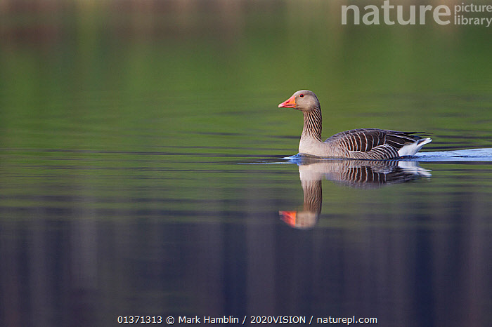 Greylag goose (Anser anser) adult on water, Scotland, UK, May 2010  ,  2020VISION,ANATIDAE,BIRDS,EUROPE,GEESE,LAKES,ONE,PROFILE,REFLECTIONS,UK,VERTEBRATES,WATERFOWL,WETLANDS,United Kingdom  ,  Mark Hamblin / 2020VISION