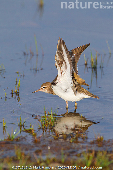 Common sandpiper (Actitis hypoleucos) adult stretching its wings on edge of loch, Scotland, UK, May 2010  ,  2020VISION,BEHAVIOUR,BIRDS,DISPLAY,EUROPE,LAKES,ONE,SANDPIPERS,STRETCHING,UK,VERTEBRATES,VERTICAL,WADERS,WETLANDS,WINGS,Communication,United Kingdom  ,  Mark Hamblin / 2020VISION