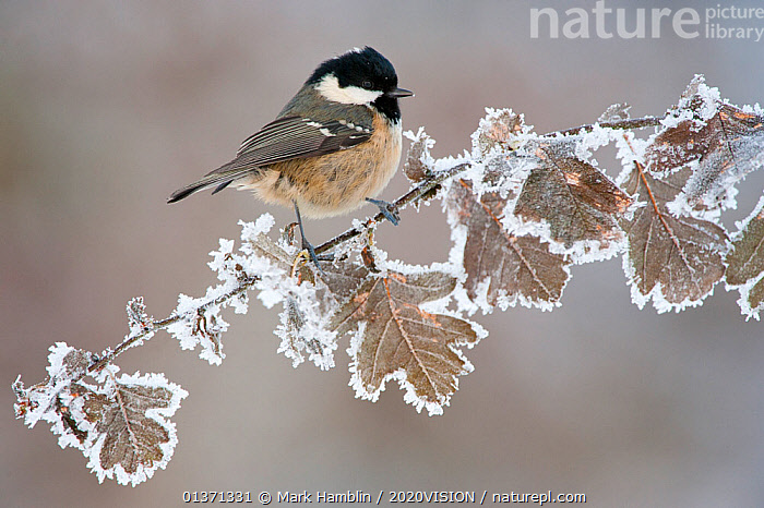 Coal tit (Periparus ater) adult perched in winter, Scotland, UK, December. Did you know? Coal tits keep in contact with their flock when searching for food, with constant 'dee' or 'seesee' calls.  ,  2020VISION, BIRDS, COLD, EUROPE, FORESTS, FROST, hoar frost, oak, Paridae, picday, SCOTLAND, songbirds, TITS, UK, VERTEBRATES, WINTER, WOODLANDS,Weather,United Kingdom,2020cc  ,  Mark Hamblin / 2020VISION