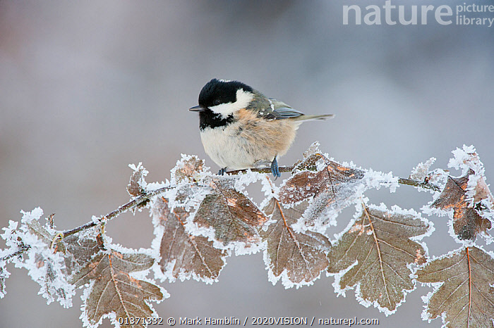 Coal tit (Periparus ater) adult perched in winter, Scotland, UK, December  ,  2020VISION, BIRDS, COLD, EUROPE, FORESTS, FROST, hoar frost, oak, Paridae, SCOTLAND, songbirds, TITS, UK, VERTEBRATES, WINTER, WOODLANDS,Weather,United Kingdom  ,  Mark Hamblin / 2020VISION