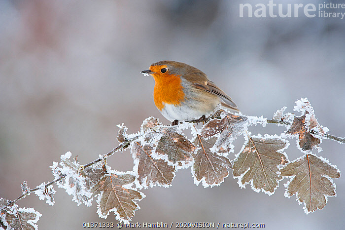 Robin (Erithacus rubecula) adult perched in winter, Scotland, UK, December  ,  2020VISION,BIRDS,COLD,EUROPE,FROST,HOAR FROST,LEAVES,MUSCICAPIDAE,OAK,SCOTLAND,SNOW,SONGBIRDS,UK,VERTEBRATES,WINTER,WOODLANDS,Weather,United Kingdom  ,  Mark Hamblin / 2020VISION