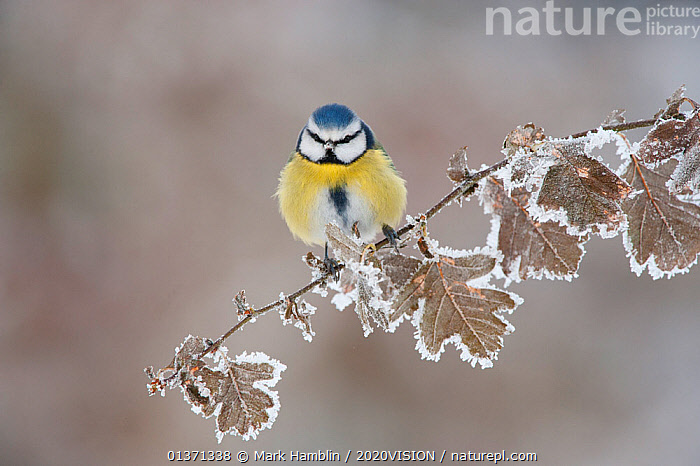 Blue tit (Parus caeruleus) perched in winter, Scotland, UK, December  ,  2020VISION,BIRDS,COLD,EUROPE,FROST,HOAR FROST,LEAVES,OAK,PARIDAE,SCOTLAND,SNOW,SONGBIRDS,TITS,UK,VERTEBRATES,WINTER,WOODLANDS,Weather,United Kingdom  ,  Mark Hamblin / 2020VISION