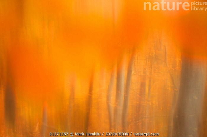 Abstract of Beech woodland (Fagus sylvatica) in autumn, Rothiemurchus, Cairngorms National Park, Scotland, UK  ,  2020VISION,ABSTRACT,ARTY SHOTS,AUTUMN,BLURRED,DICOTYLEDONS,EUROPE,FAGACEAE,GOLDEN,HIGHLANDS,NP,ORANGE,PLANTS,SCOTLAND,TREES,TRUNKS,UK,WOODLANDS,YELLOW,National Park,United Kingdom  ,  Mark Hamblin / 2020VISION