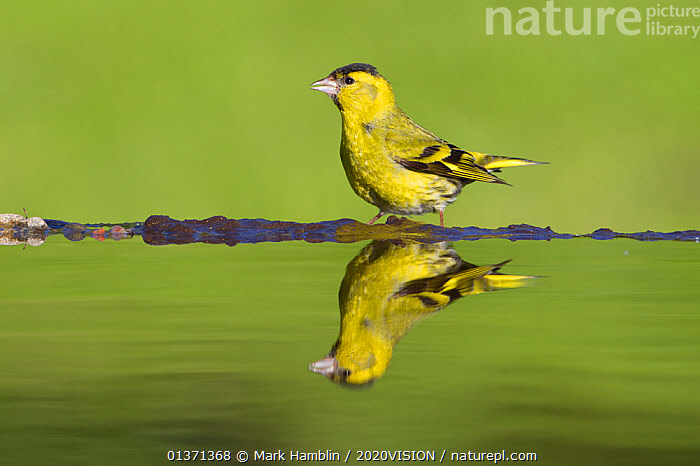 Siskin (Carduelis spinus) male at garden pool, Scotland, UK, May. Did you know? The total combined size of the UK�s gardens is bigger than all our National Nature Reserves put together!  ,  2020VISION,BIRDS,DRINKING,EUROPE,FINCHES,FRINGILLIDAE,GARDENS,GREEN,PONDS,REFLECTIONS,SCOTLAND,UK,VERTEBRATES,WATER,WOODLANDS,YELLOW,United Kingdom,PICDAY,2020cc  ,  Mark Hamblin / 2020VISION