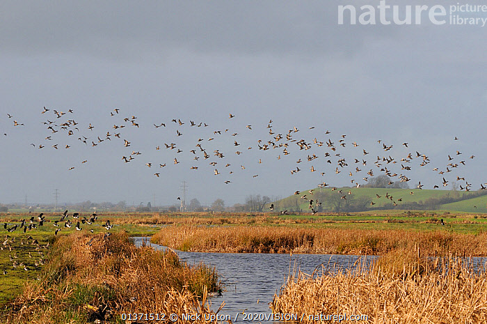 Flocks of European wigeon (Anas penelope), Common teal (Anas crecca) and Lapwing (Vanellus vanellus) flying over flooded marshes and stands of Bulrush (Typha latifolia) in winter, Greylake RSPB reserve, Somerset Levels, UK, December  ,  2020VISION,ANATIDAE,BIRDS,CHARADRIIDAE,DUCKS,ENGLAND,EUROPE,FLOCKS,FLYING,LANDSCAPES,LAPWINGS,MIXED SPECIES,PLANTS,PLOVERS,RESERVE,TYPHACEAE,UK,VERTEBRATES,WADERS,WATERFOWL,WETLANDS,United Kingdom  ,  Nick Upton / 2020VISION