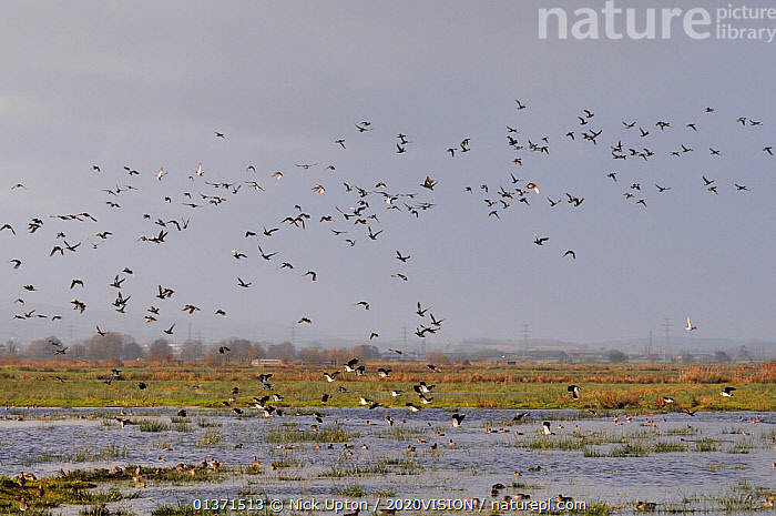 Flocks of European wigeon (Anas penelope), Common teal (Anas crecca) and Lapwing (Vanellus vanellus) flying over and resting on flooded marshes in winter, Greylake RSPB reserve, Somerset Levels, UK, December  ,  2020VISION,ANATIDAE,BIRDS,CHARADRIIDAE,DUCKS,ENGLAND,EUROPE,FLOCKS,FLYING,LANDSCAPES,LAPWINGS,MIXED SPECIES,PLOVERS,RESERVE,UK,VERTEBRATES,WADERS,WATERFOWL,WETLANDS,United Kingdom  ,  Nick Upton / 2020VISION