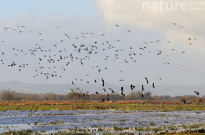 Flocks of European wigeon (Anas penelope), Common teal (Anas crecca) and Lapwing (Vanellus vanellus) flying over and taking off from flooded marshes in winter, Greylake RSPB reserve, Somerset Levels, UK, December  ,  2020VISION,ANATIDAE,BIRDS,CHARADRIIDAE,DUCKS,ENGLAND,EUROPE,FLOCKS,FLYING,LAPWINGS,MIXED SPECIES,PLOVERS,RESERVE,TAKE OFF,UK,VERTEBRATES,WADERS,WATERFOWL,WETLANDS,United Kingdom  ,  Nick Upton / 2020VISION