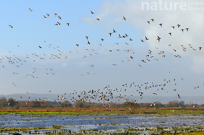 Flocks of Wigeon (Anas penelope), Common Teal (Anas crecca) and Lapwing (Vanellus vanellus) flying over flooded marshes in winter, Greylake RSPB reserve, Somerset Levels, UK, December  ,  2020VISION,ANATIDAE,BIRDS,CHARADRIIDAE,DUCKS,ENGLAND,EUROPE,FLOCKS,FLYING,LAPWINGS,MIXED SPECIES,PLOVERS,RESERVE,UK,VERTEBRATES,WADERS,WATERFOWL,WETLANDS,United Kingdom  ,  Nick Upton / 2020VISION