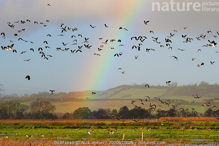 Lapwings (Vanellus vanellus), Golden plover (Pluvialis apricaria), Wigeon (Anas penelope) and Common Teal (Anas crecca) flying over flooded marshes in winter, with a rainbow in the background, Greylake RSPB reserve, Somerset Levels, UK, December  ,  2020VISION,ANATIDAE,BIRDS,DUCKS,ENGLAND,EUROPE,FLOCKS,FLYING,MIXED SPECIES,MONOCOTYLEDONS,PLANTS,PLOVERS,RAINBOWS,RESERVE,TYPHACEAE,UK,VERTEBRATES,WADERS,WATERFOWL,WETLANDS,Weather,United Kingdom,2020cc  ,  Nick Upton / 2020VISION