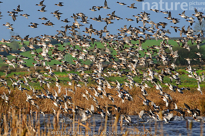 Dense flock of Wigeon (Anas penelope) and Common Teal (Anas crecca) flying over flooded marshes in winter and landing on water fringed by Bulrushes (Typha latifolia), Greylake RSPB reserve, Somerset Levels, UK, December  ,  2020VISION,ANATIDAE,BIRDS,DUCKS,ENGLAND,EUROPE,FLOCKS,FLYING,MASS,MIXED SPECIES,MONOCOTYLEDONS,PLANTS,RESERVE,TYPHACEAE,UK,VERTEBRATES,WATERFOWL,WETLANDS,United Kingdom  ,  Nick Upton / 2020VISION