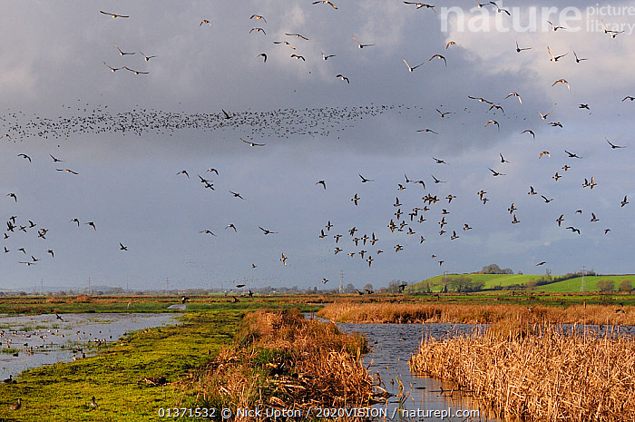 Flocks of European wigeon (Anas penelope), Common teal (Anas crecca) and Lapwing (Vanellus vanellus) flying over flooded marshes and stands of Bulrush (Typha latifolia) in winter, Greylake RSPB reserve, Somerset Levels, UK, December  ,  2020VISION,ANATIDAE,BIRDS,CHARADRIIDAE,DUCKS,ENGLAND,EUROPE,FLOCKS,FLYING,LAPWINGS,MIXED SPECIES,MONOCOTYLEDONS,PLANTS,PLOVERS,RESERVE,TYPHACEAE,UK,VERTEBRATES,WADERS,WATERFOWL,WETLANDS,United Kingdom  ,  Nick Upton / 2020VISION