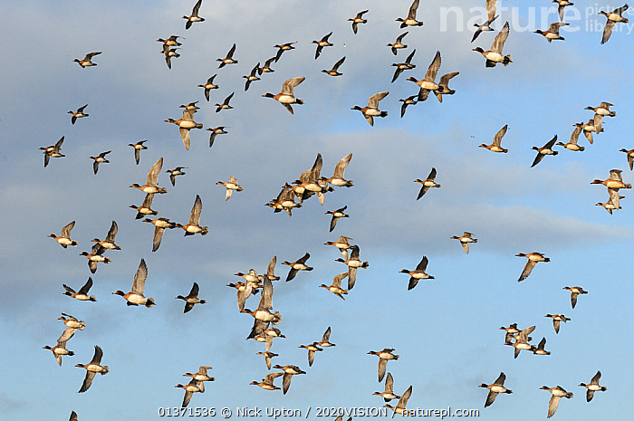Flock of Wigeon (Anas penelope) and a few Common Teal (Anas crecca) flying overhead in winter, Greylake RSPB reserve, Somerset Levels, UK, December  ,  2020VISION,ANATIDAE,BIRDS,DUCKS,ENGLAND,EUROPE,FLOCKS,FLYING,MIXED SPECIES,RESERVE,UK,VERTEBRATES,WATERFOWL,WETLANDS,United Kingdom,2020cc  ,  Nick Upton / 2020VISION