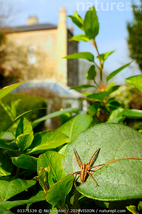 Young female Nursery web spider (Pisaura mirabilis) waiting for fly prey to land on Japanese honeysuckle (Lonicera japonica) leaf in a garden, Wiltshire, England, UK, March  ,  2020VISION,ARACHNIDS,ARTHROPODS,CITIES,ENGLAND,EUROPE,GARDENS,HUNTING,INVERTEBRATES,LEAVES,PLANTS,SPIDERS,UK,URBAN,VERTICAL,United Kingdom  ,  Nick Upton / 2020VISION
