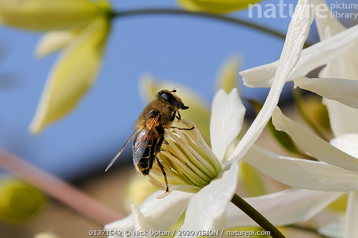 Hover fly (Eristalis tenax), a honeybee mimic, feeding on Clematis flower (Clematis almondii) in a garden, Wiltshire, UK, March. Did you know? There are about 250 species of hoverfly in Britain.  ,  2020VISION,CITIES,CLIMBERS,DICOTYLEDONS,DIPTERA,ENGLAND,EUROPE,FLIES,FLOWERS,GARDENS,picday,HOVER FLIES,INSECTS,INVERTEBRATES,MIMICRY,PLANTS,POLLINATION,RANUNCULACEAE,UK,URBAN,WHITE,United Kingdom,,Dispersal,  ,  Nick Upton / 2020VISION