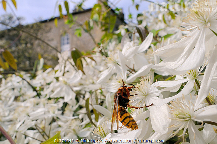 Queen Hornet (Vespa crabro) feeding on Clematis flower (Clematis almondii) in a garden, Wiltshire, UK, April . Property released.  ,  2020VISION,CITIES,CLIMBERS,DICOTYLEDONS,ENGLAND,EUROPE,FEMALES,FLOWERS,GARDENS,HYMENOPTERA,INSECTS,INVERTEBRATES,PLANTS,POLLINATION,RANUNCULACEAE,UK,URBAN,WASPS,WHITE,United Kingdom,,Dispersal,  ,  Nick Upton / 2020VISION