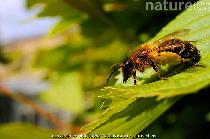 Female Tawny mining bee (Andrena fulva) sunbasking on a garden hedge leaf, with well loaded pollen sacs, Wiltshire, England, UK, April . Property released.  ,  2020VISION,BEES,CITIES,ENGLAND,EUROPE,FEMALES,GARDENS,HYMENOPTERA,INSECTS,INVERTEBRATES,LEAVES,PLANTS,POLLINATION,PROFILE,THERMOREGULATION,UK,URBAN,United Kingdom  ,  Nick Upton / 2020VISION
