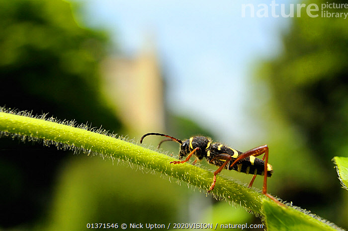 Wasp beetle (Clytus arietus), walking on stem of Japanese honeysuckle (Lonicera japonica), in a garden, Wiltshire, England, UK, April . Property released.  ,  2020VISION,BEETLES,CITIES,CLIMBERS,COLEOPTERA,ENGLAND,EUROPE,GARDENS,INSECTS,INVERTEBRATES,LEAVES,LONGHORN BEETLES,UK,URBAN,Plants,United Kingdom  ,  Nick Upton / 2020VISION