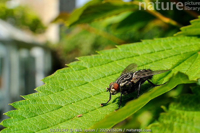 Flesh fly (Sarcophaga sp.) basking in the sun on a garden hedge leaf, Wiltshire, England, UK, April . Property released.  ,  2020VISION,CITIES,DIPTERA,ENGLAND,EUROPE,FLIES,GARDENS,INSECTS,INVERTEBRATES,LEAVES,PESTS,PLANTS,SARCOPHAGIDAE,THERMOREGULATION,UK,URBAN,United Kingdom  ,  Nick Upton / 2020VISION