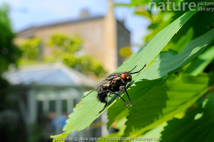Flesh fly (Sarcophaga sp.) basking in sun on a garden hedge leaf, Wiltshire, England, UK, April . Property released.  ,  2020VISION,CITIES,DIPTERA,ENGLAND,EUROPE,FLIES,GARDENS,INSECTS,INVERTEBRATES,LEAVES,PESTS,PLANTS,SARCOPHAGIDAE,THERMOREGULATION,UK,URBAN,United Kingdom  ,  Nick Upton / 2020VISION