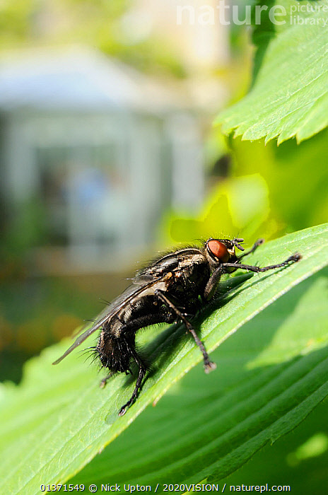 Flesh fly (Sarcophaga sp.) basking in the sun on a garden hedge leaf, Wiltshire, England, UK, April . Property released.  ,  2020VISION,CITIES,DIPTERA,ENGLAND,EUROPE,FLIES,GARDENS,INSECTS,INVERTEBRATES,LEAVES,PLANTS,PROFILE,SARCOPHAGIDAE,UK,URBAN,VERTICAL,United Kingdom  ,  Nick Upton / 2020VISION