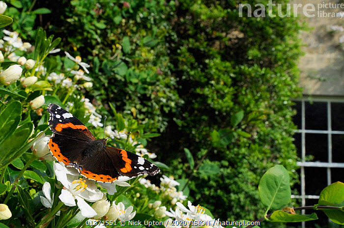Red Admiral butterfly (Vanessa atalanta) feeding on Mexican orange blossom (Choisya ternata) in garden, Wiltshire, England, UK, April . Property released.  ,  2020VISION,ARTHROPODS,BUTTERFLIES,CITIES,COLOURFUL,ENGLAND,EUROPE,FLOWERS,GARDENS,INSECTS,INVERTEBRATES,LEAVES,LEPIDOPTERA,UK,URBAN,United Kingdom  ,  Nick Upton / 2020VISION