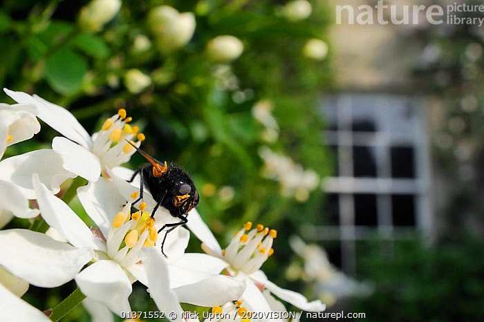 Noon fly (Mesembrina meridiana) on Mexican orange blossom (Choisya ternata) flowers in garden, Wiltshire, England, UK, April. . Property released.  ,  2020VISION,ARTHROPODS,CITIES,DIPTERA,ENGLAND,EUROPE,FLIES,FLOWERS,GARDENS,INSECTS,INVERTEBRATES,POLLINATION,UK,URBAN,United Kingdom  ,  Nick Upton / 2020VISION