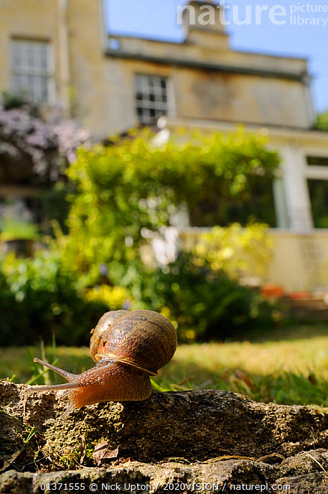 Common snail (Helix aspersa) crawling over edge of a low retaining wall in a garden with house in the background, Wiltshire, England, UK, April . Property released.  ,  2020VISION,CITIES,ENGLAND,EUROPE,GARDENS,GASTROPODS,INVERTEBRATES,MOLLUSCS,PLANTS,SNAILS,UK,URBAN,VERTICAL,United Kingdom  ,  Nick Upton / 2020VISION