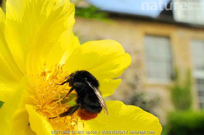 Queen Red tailed bumblebee (Bombus lapidarius) feeding on Yellow tree peony (Paeonia ludlowii) flower in garden, with house in the background, Wiltshire, England, UK, April . Property released.  ,  2020VISION,ARTHROPODS,BEES,BUMBLEBEES,CITIES,ENGLAND,EUROPE,FEMALES,FLOWERS,GARDENS,HYMENOPTERA,INSECTS,INVERTEBRATES,ONE,PLANTS,POLLINATION,UK,URBAN,United Kingdom,2020cc  ,  Nick Upton / 2020VISION