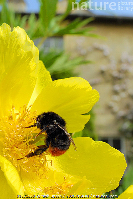 Queen Red tailed bumblebee (Bombus lapidarius) feeding on Yellow tree peony (Paeonia ludlowii) flower in garden, with house in the background, Wiltshire, England, UK, April . Property released.  ,  2020VISION,ARTHROPODS,BEES,BUMBLEBEES,CITIES,ENGLAND,EUROPE,FEMALES,FLOWERS,GARDENS,HYMENOPTERA,INSECTS,INVERTEBRATES,ONE,POLLINATION,UK,URBAN,VERTICAL,United Kingdom,,Dispersal,  ,  Nick Upton / 2020VISION