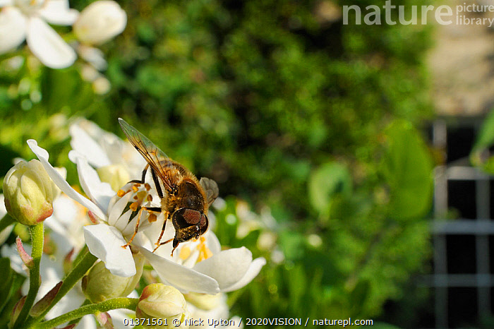 Hover fly (Eristalis tenax) on a Mexican orange blossom (Choisya ternata) flowering in a garden, with house in background, Wiltshire, UK, April . Property released.  ,  2020VISION,CITIES,DIPTERA,ENGLAND,EUROPE,FLIES,FLOWERS,GARDENS,HOVER FLIES,INSECTS,INVERTEBRATES,MIMICRY,PLANTS,POLLINATION,UK,URBAN,United Kingdom,,Dispersal,  ,  Nick Upton / 2020VISION